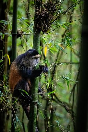 Golden Monkeys in the bamboo