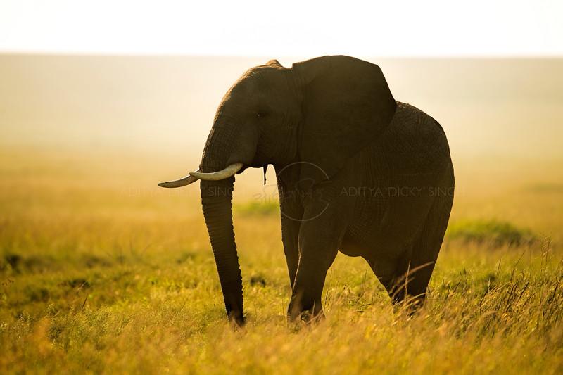 African elephant silhouetted at dawn in Masai Mara Wildlife Refuge in Kenya