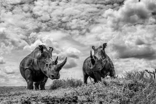 Lewa White Rhinos