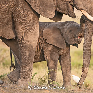 Staying close to mom - Kenya