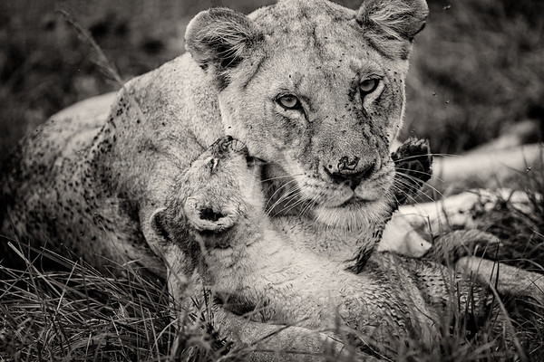 Mother lion bnw