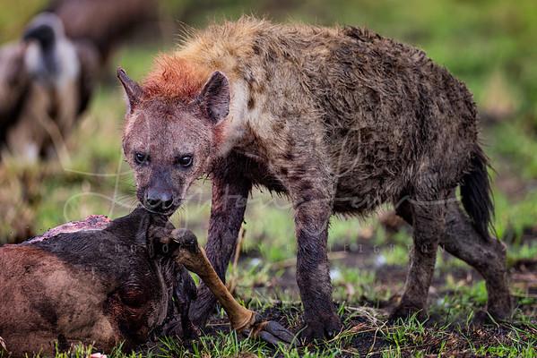 Hyena on a kill 5