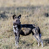 This African Wild Dog (aka Painted Dog) alpha female and mother of 11 cubs, was leading the pack on a hunt.