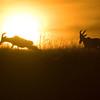 Silhouette of Hartebeests (Alcelaphus buselaphus) at sunset in Masai Mara Wildlife Refuge in Kenya