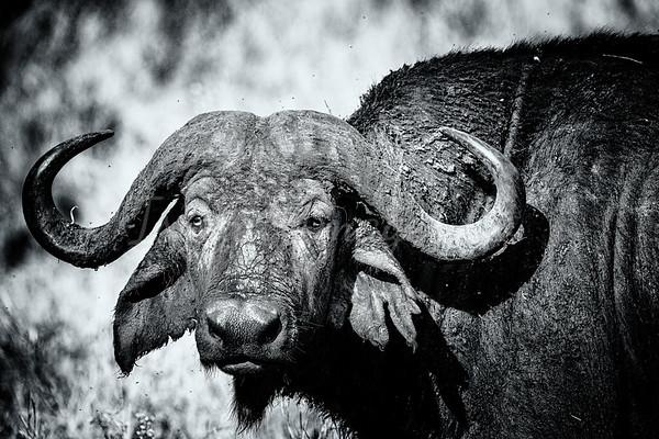 Cape Buffalo Portrait
