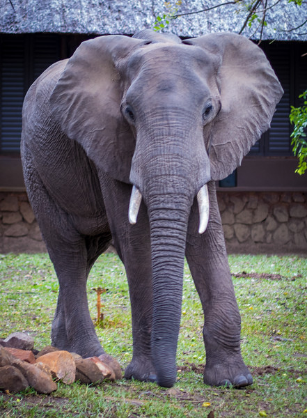 Elephant and mangos.  Mfuwe Lodge