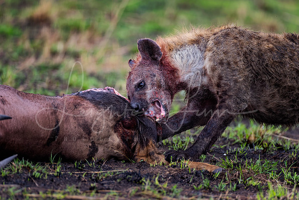 Hyena on a kill 2