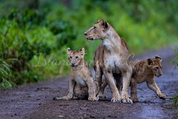 Lake Nakuru lions 5