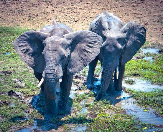 Blowing water.  S Luangwa National Park,  Zambia