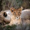 Lewa cubs 2