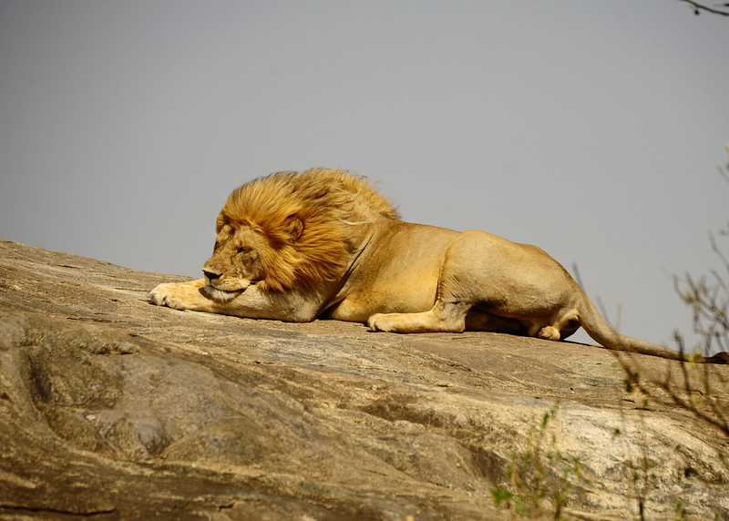 Once widespread throughout North America, Eurasia and Africa, lions currently inhabit scattered populations in Sub-Saharan Africa and one population in wester India. It has been listed as Vulnerable on the IUCN Red List since 1996, as populations in African ranges countries declined by about 43% since the early 1990s. The threats to the lions exhistance include habitat loss and conflicts with humans. The Asiatic lion and the West African lion are listed as Endangered and Critically Endangerd respectively.
