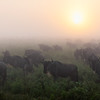 Wildebeest Sunrise