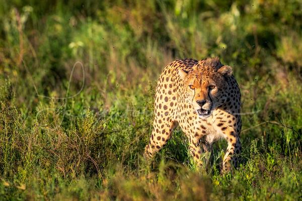 Roaming Cheetah Brother