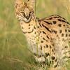Serval cat in Masai Mara Wildlife Refuge in Kenya