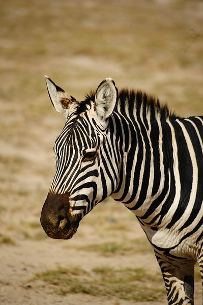 The young zebras are born with fuzzy, soft fur. Their legs are almost as long as an adult zebra's. The foals can walk just 20 minutes after birth and they can run after an hour. This is critical so they can stay with the herd to find food and water and for protection.