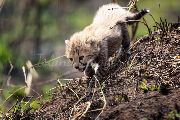 Baby cheetah cubs playing