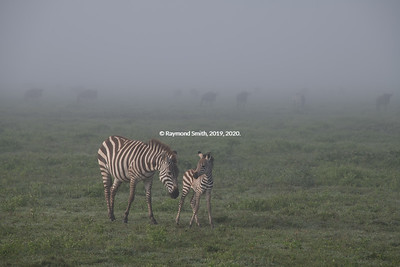 Zebra Mom & her baby in the Serengeti
