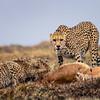 Cheetah Stare down