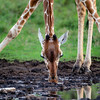 Reticulated Giraffe getting a drink