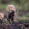 Baby cheetah cub 3