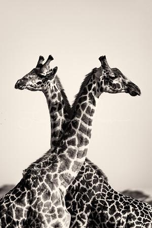 Symetrical  Giraffe