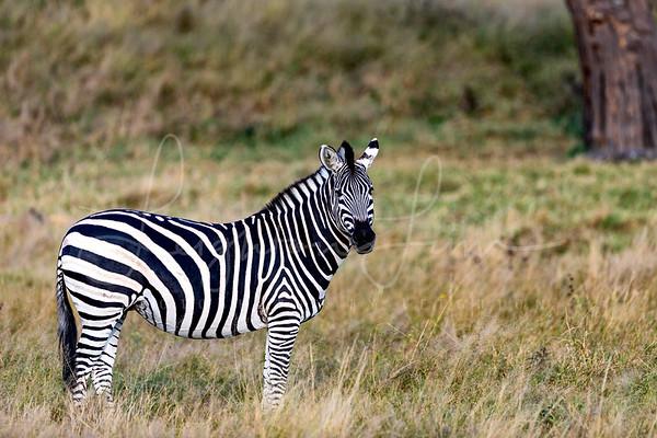 Zebra Stud