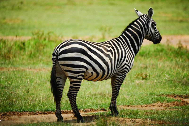 Zebras communicate with each other with high-pitched barks and whinnying. A zebras ears communicate their mood. When a zebra is in a calm, tense or friendly, its ears stand erect. When it is frightened, its ears are pushed forward. When angry, the ears are pulled backward.