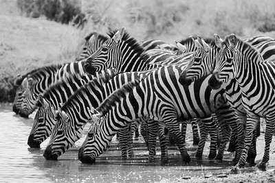 Zebras at the Watering Hole