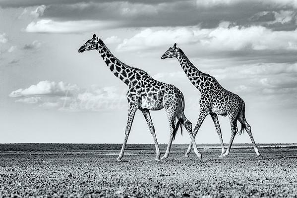 Giraffes on Lake Amboseli bnw