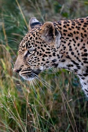 Leopard portrait 2