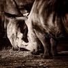 Rhino Tussle