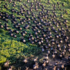 Great Migration aerial 2