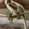 Vervet Monkey 7658