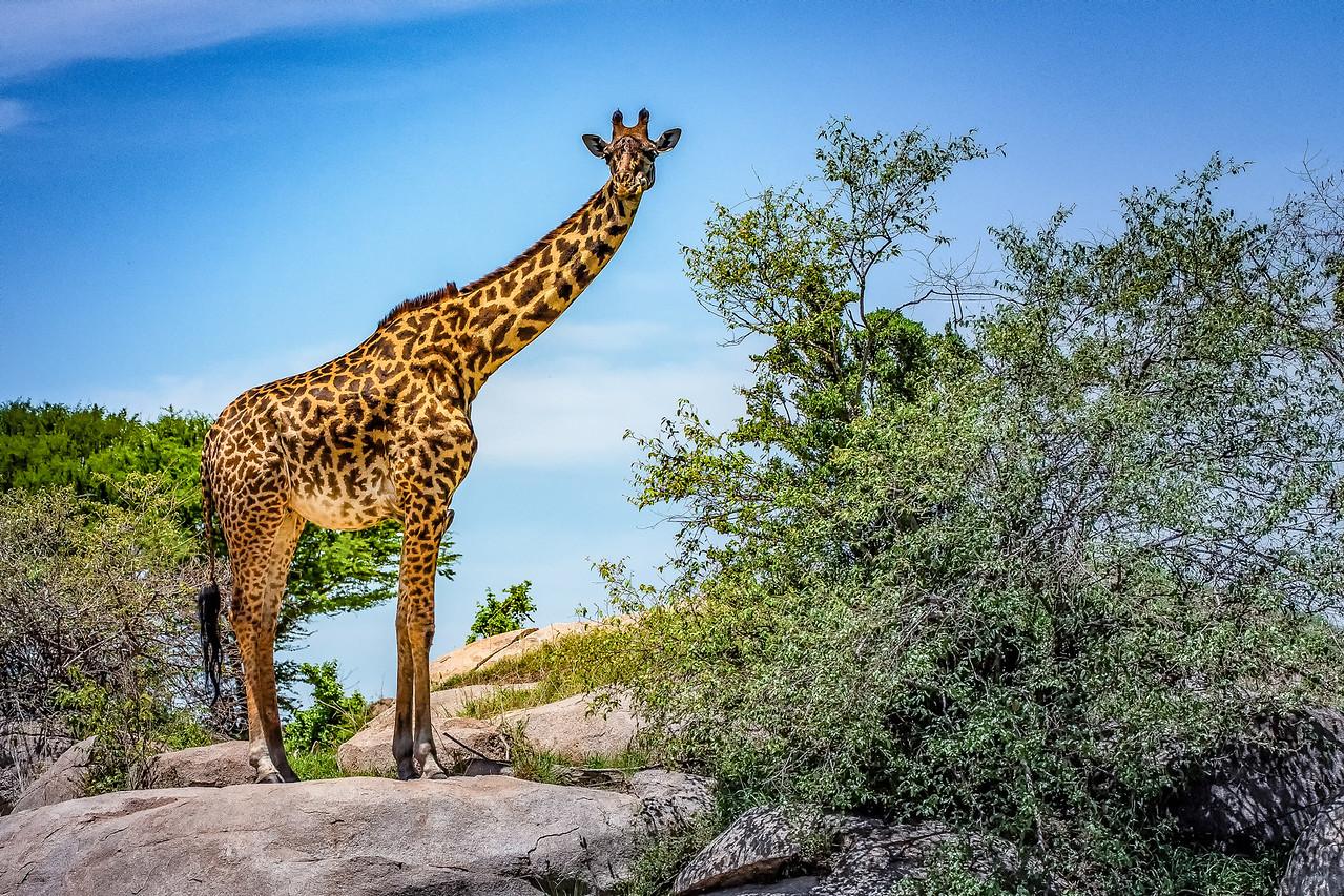 Giraffe 0899