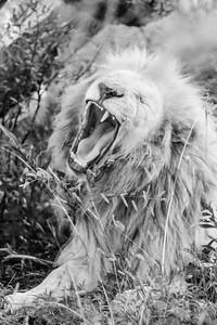20170104_Lion_015