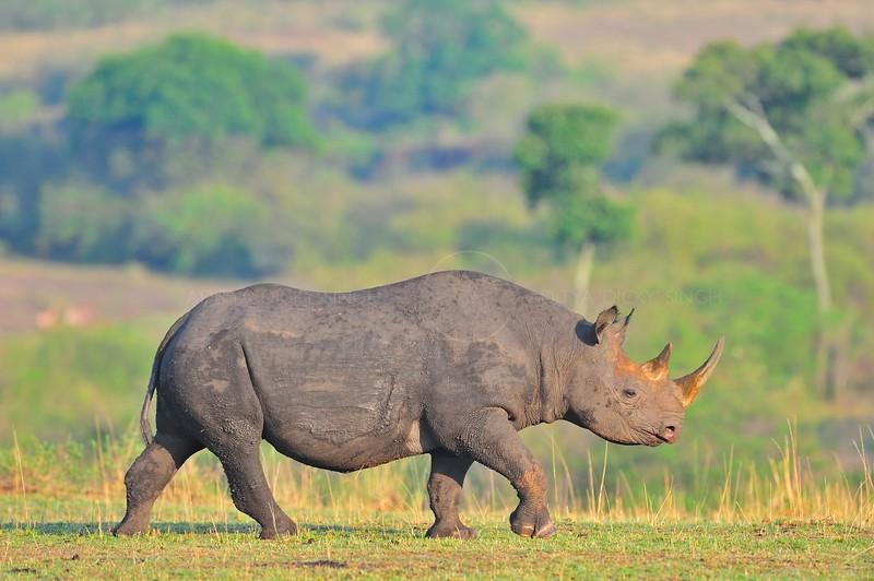 Black Rhinoceros or Hook-lipped Rhinoceros (Diceros bicornis) in Masai Mara, Kenya