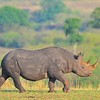 Black Rhinoceros or Hook-lipped Rhinoceros (Diceros bicornis) in Masai Mara, Kenya