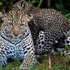 Leopard mom and cub