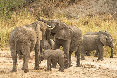 Elephants Tarangire 4179