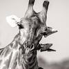 Giraffe Attack