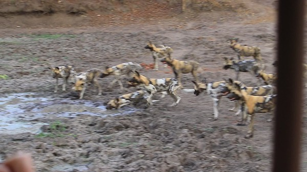 Wild dogs of Zambia