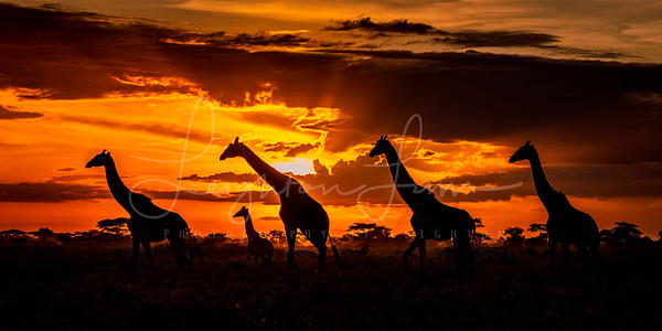Giraffes in the Serengeti 1x2