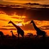 Giraffes in the Serengeti 1x2