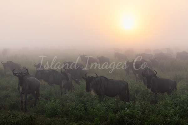 Wildebeest Sunrise