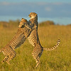 Two Cheetahs, siblings or twins, playing in the grasslands of Masai Mara in Kenya, Africa