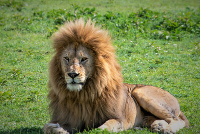 King of the Jungle, a Male Lion