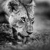 Lioness bnw