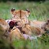 Mara pride kill