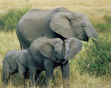 Kenya, Masai Mara National Reserve /  African Elephants, Loxodonta africana, with young in deep golden grassland.  804H4