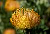 Fynbos at Fernkloof Nature Preserve, Hermanus